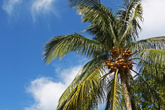 Ладонь кокоса Стоковые Изображения RF