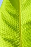 ладонь листьев банана Стоковые Фотографии RF