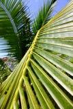 ладонь листьев кокоса Стоковое Фото
