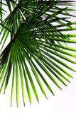 ладонь листьев предпосылки тропическая Стоковое Изображение