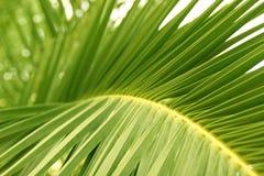 ладонь листьев Стоковая Фотография RF