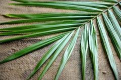 ладонь масла листьев Стоковые Изображения