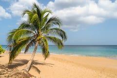 Ладонь на пляже Perle Ла, Гваделупе Стоковое Фото