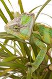 ладонь хамелеона Стоковое Фото