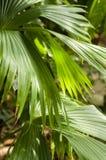 Ладонь шлема Панамы стоковое фото