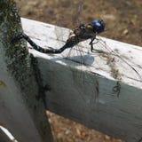 Лазурный dragonfly стоковые фотографии rf