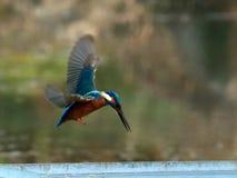 Лазурный kingfisher в полете Стоковая Фотография RF