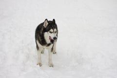 Лайка вылизала снег в зиме, красивый гордый животный снег волка дикой собаки большой Стоковые Изображения