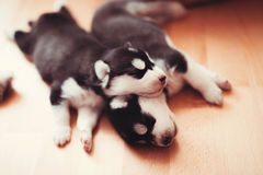 Лайка красивого маленького щенка сибирская Стоковые Изображения RF