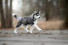 Лайка милого щенка сибирская черно-белая Стоковые Изображения