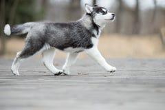 Лайка милого щенка сибирская черно-белая Стоковое Изображение RF