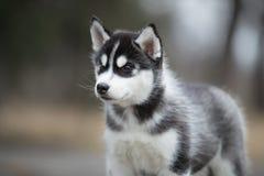 Лайка милого щенка сибирская черно-белая Стоковая Фотография