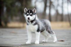 Лайка милого щенка сибирская черно-белая Стоковое фото RF