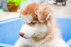 Лайка милого щенка сибирская Стоковая Фотография RF