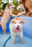 Лайка милого щенка сибирская Стоковые Изображения RF