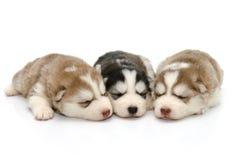 Лайка милых щенят сибирская спать на белой предпосылке Стоковые Изображения
