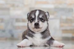 Лайка очень маленького щенка сибирская Стоковое Изображение