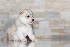 Лайка очень маленького щенка сибирская Стоковые Изображения
