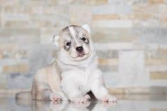 Лайка очень маленького щенка сибирская Стоковое Изображение RF