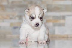 Лайка очень маленького щенка сибирская Стоковые Фото
