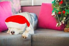 Лайка смешной собаки сибирская стоковые изображения