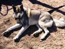 Лайка собаки лежа на том основании Стоковая Фотография