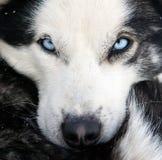 лайка собаки крупного плана Стоковые Фото
