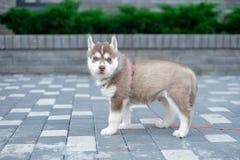 Лайка собаки щенка ждет на улице, с космосом экземпляра для текста, сиротливая концепция влюбленности стоковые фото