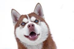 лайка собаки Стоковые Фотографии RF