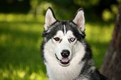 лайка собаки Стоковые Изображения RF
