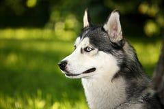 лайка собаки Стоковое фото RF