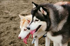 лайка собаки Стоковые Фото