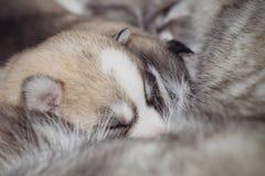 Лайка Newborn щенят сибирская Стоковое Изображение