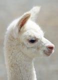 Лама альпаки младенца Стоковые Изображения