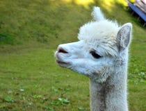 Лама альпаки Стоковое фото RF