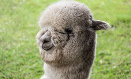 Лама альпаки Стоковые Фото
