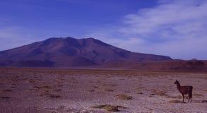 Лама в пустыне озера соли Боливии стоковая фотография