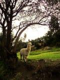 Лама в Cusco, Перу Стоковое Фото
