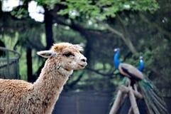 Лама и павлин в Qingdao, Китае стоковые изображения rf