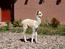 Лама младенца Стоковая Фотография