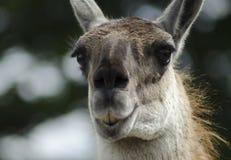 Лама на парке сафари Knowsley, Ливерпуле Стоковые Фотографии RF