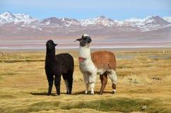 Лама на Laguna Colorada, Боливии стоковые фото
