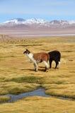 Лама на Laguna Colorada, Боливии стоковое изображение rf