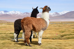 Лама на Laguna Colorada, Боливии стоковые фотографии rf