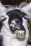 Лама смешная Стоковые Фото