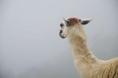 Лама смотря в туман в Перу стоковое изображение rf