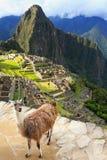 Лама стоя на Machu Picchu обозревает в Перу Стоковые Фото
