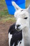 Лама с голубым ведром стоковая фотография rf