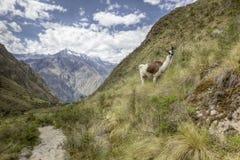 Лама тропки Inca Стоковая Фотография
