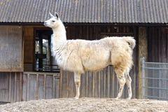 Лама Стоковая Фотография